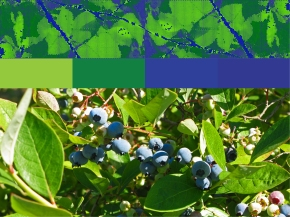Template 3 adds dark blue and light green, picking up the colors of the blueberry bushes.